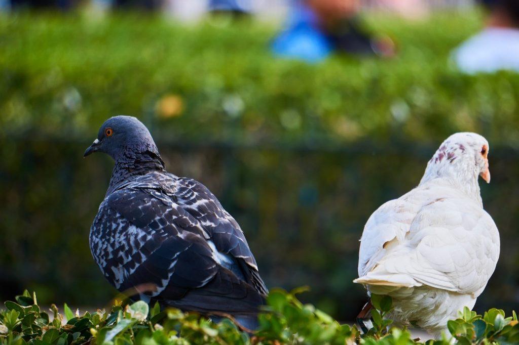 Tauben auf der Wiese
